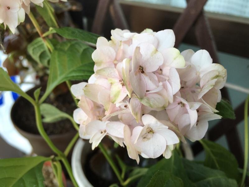 新顔紫陽花