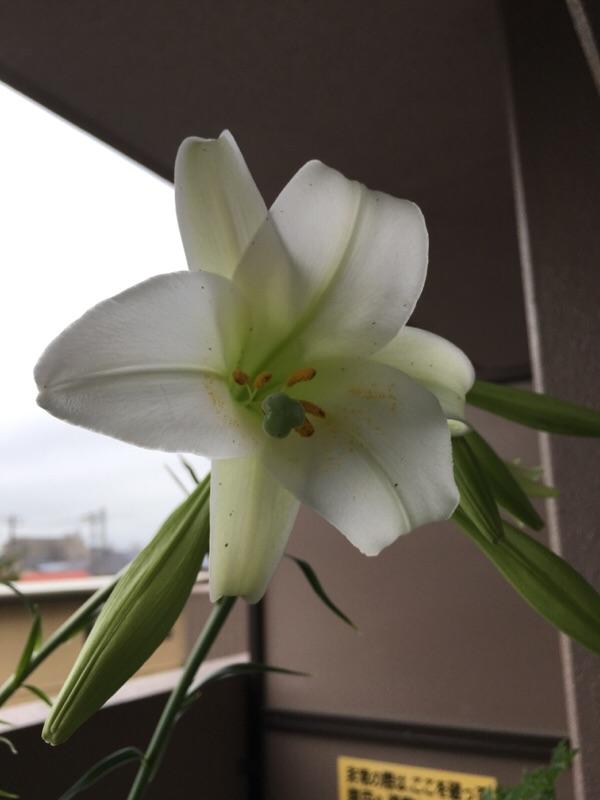 タカサゴユリが咲いた